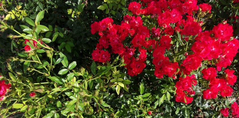 Tq210612baby-roses